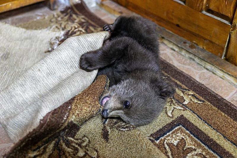 Cachorro de oso jugando en la alfombra