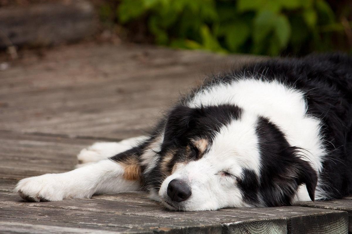 Si su perro experimenta dolor en el pene, llévelo al veterinario.