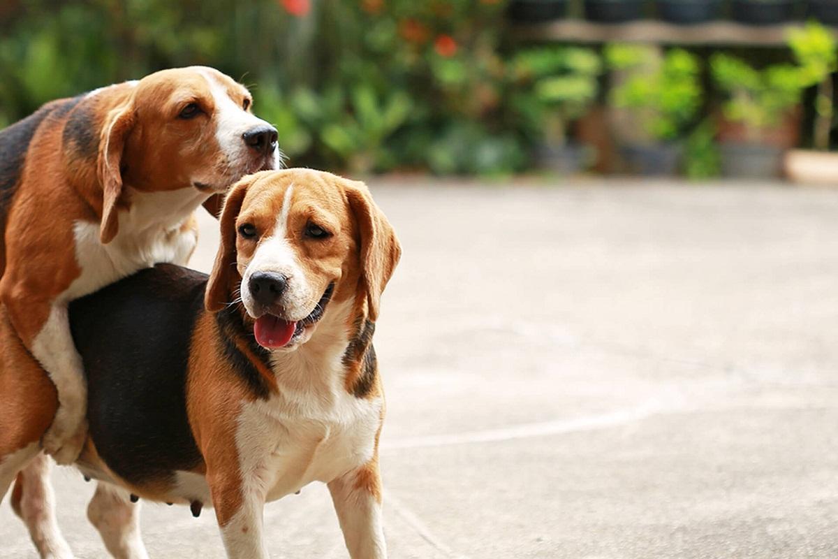 Los perros que sangran después del apareamiento pueden tener serios problemas.