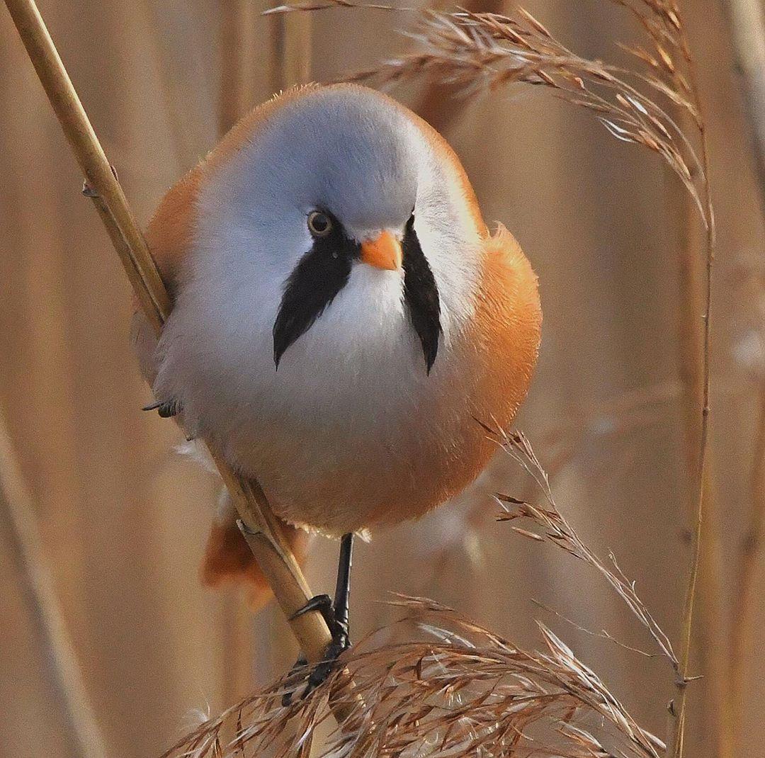 Estas adorables plumas pueden ser