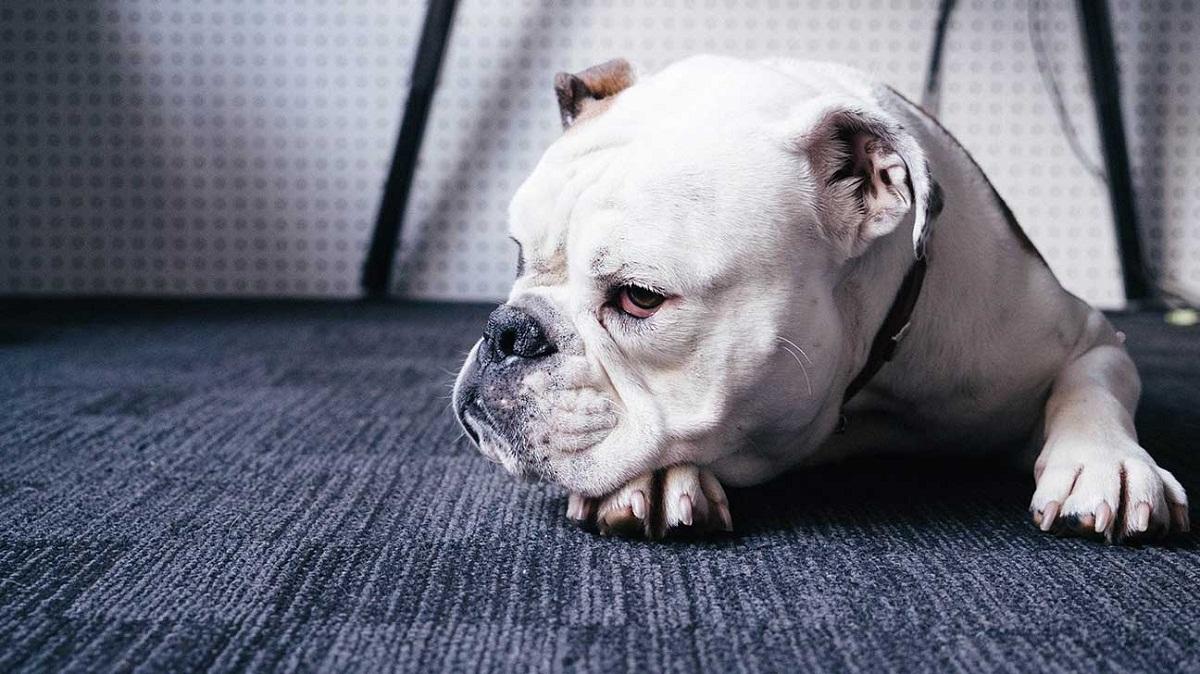 Los perros no quieren ser vacunados.