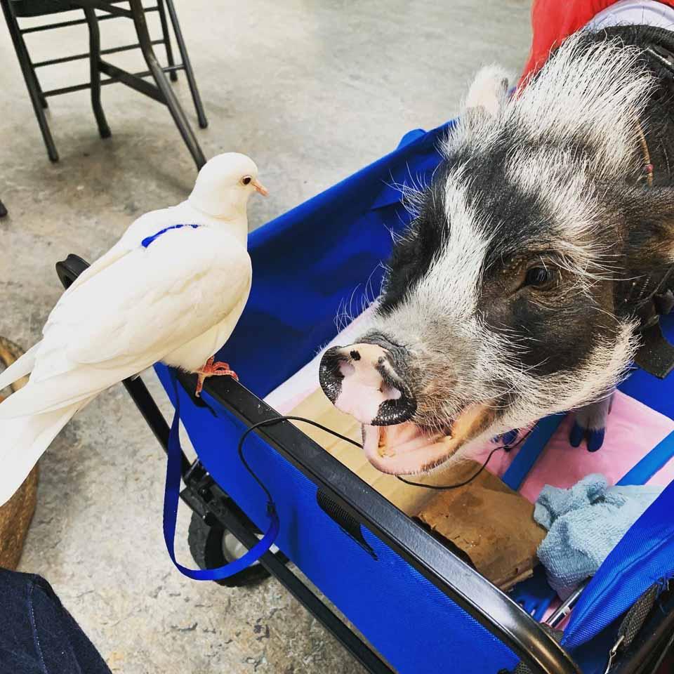 Piggy y una paloma