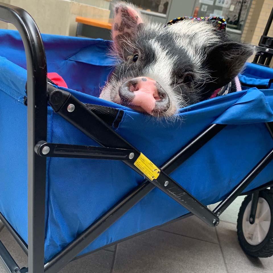 Piggy en un carro azul