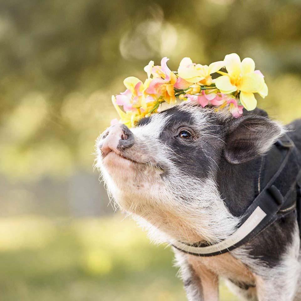Piggy con flores en la cabeza.