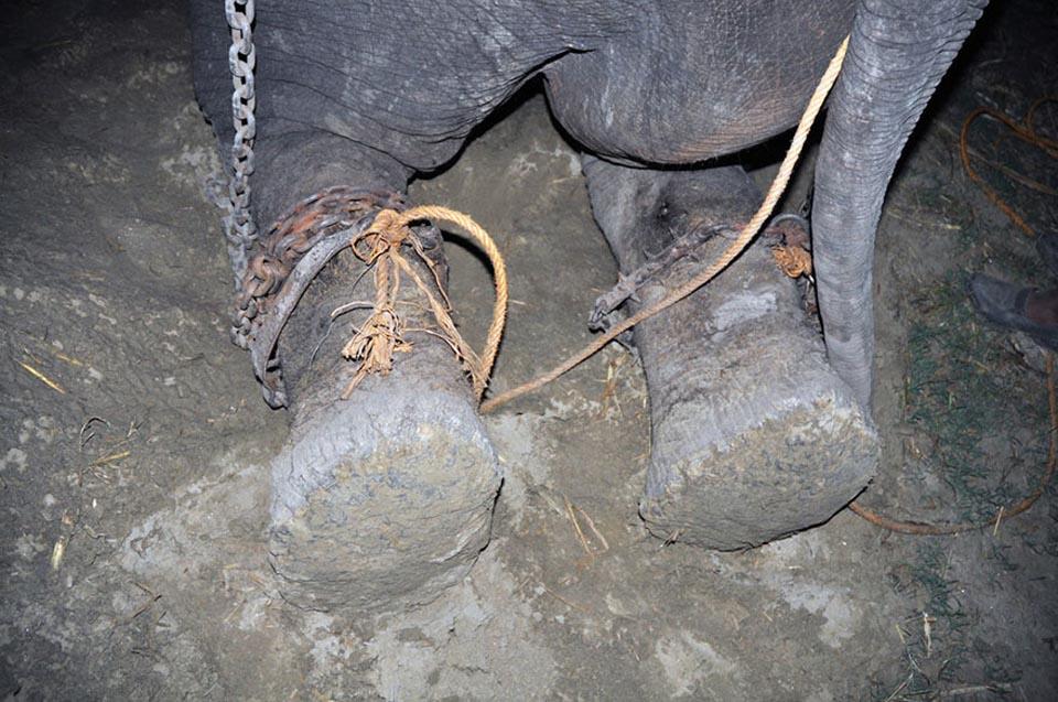 Elefante con patas encadenadas