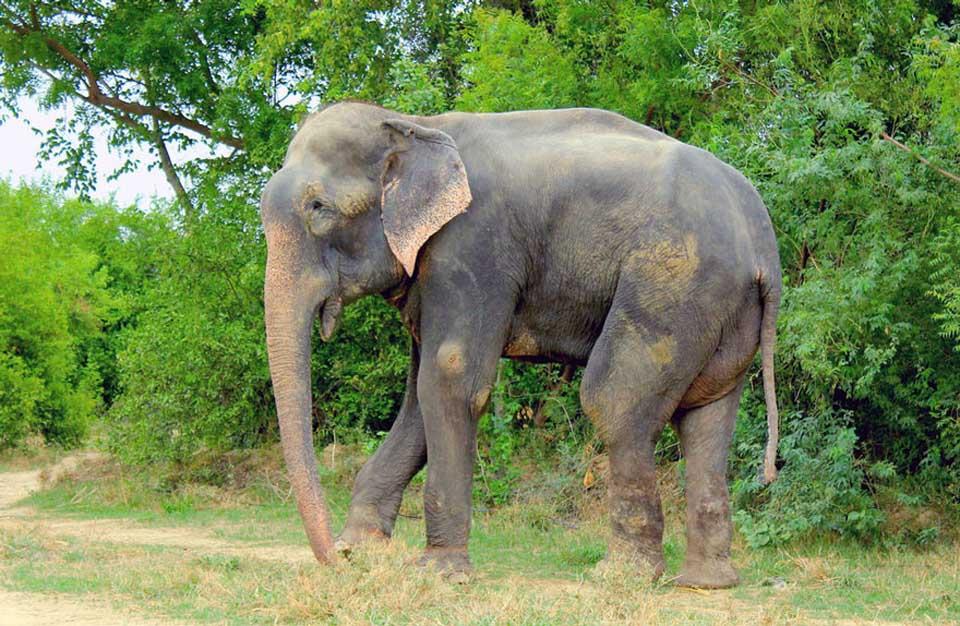 Elefante libre después de estar encadenado por varios años.