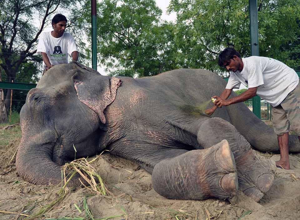 Elefante rescatado recibe atención