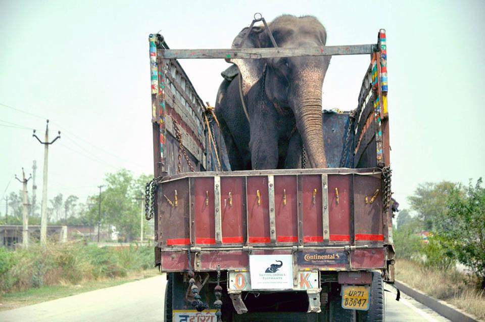 Elefante es transportado