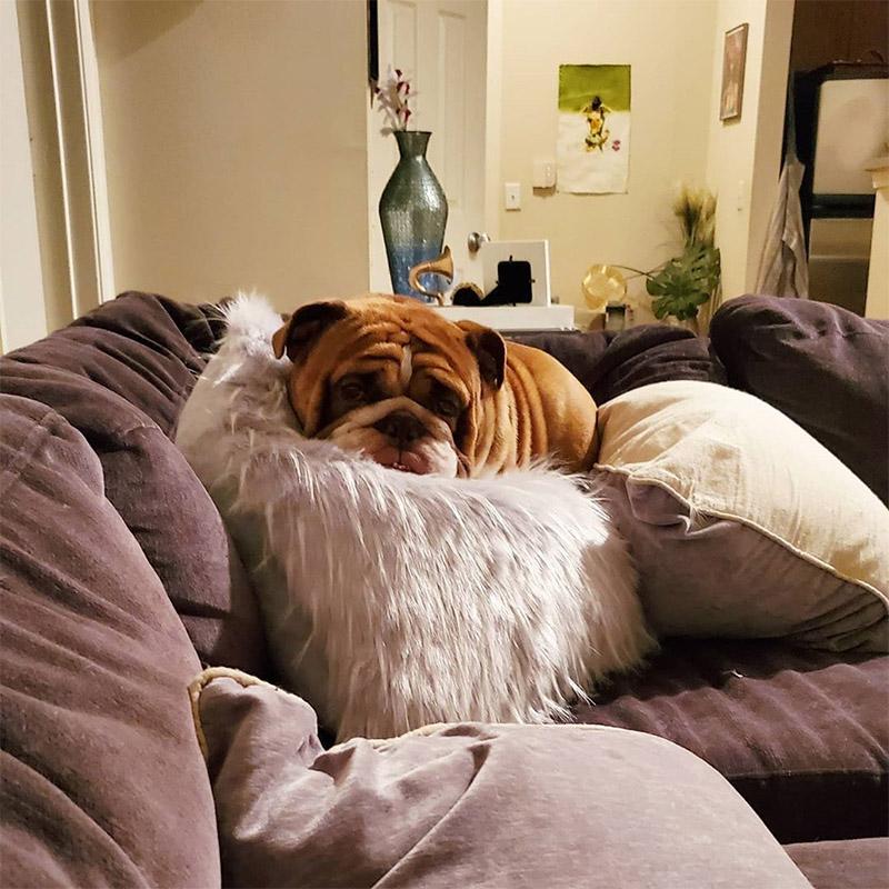 Triste bulldog en cuarentena