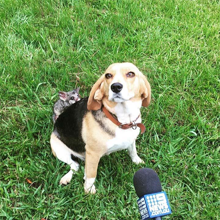 Perro adopta zorrillo