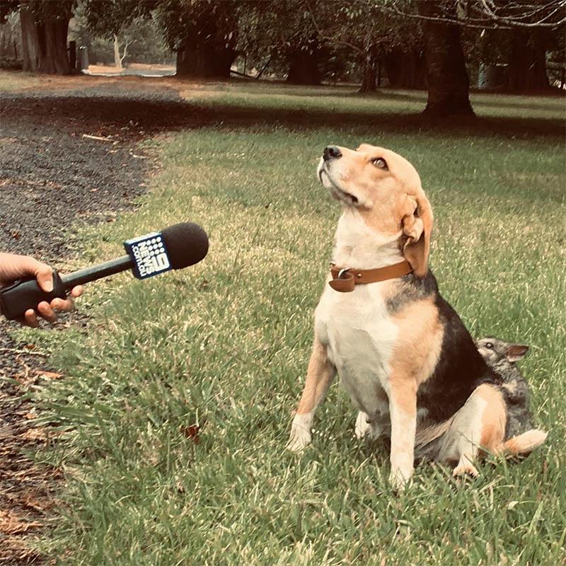 Beagle se hace amigo de la mofeta