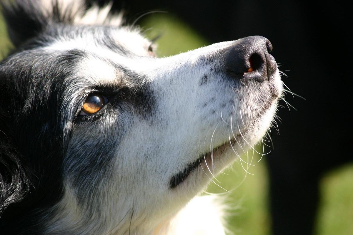 Los bigotes de los perros pueden caerse debido a una enfermedad.