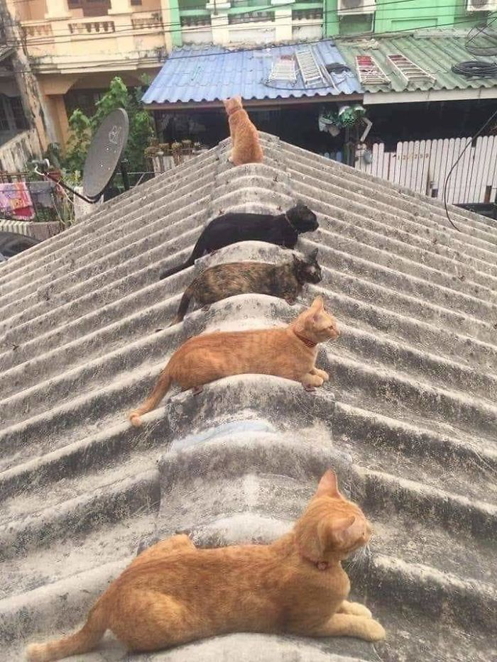 los gatos cumplen con los estándares sociales para la pandemia
