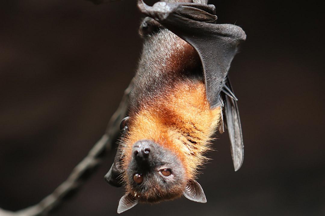 Plato de murciélago tradicional en Indonesia