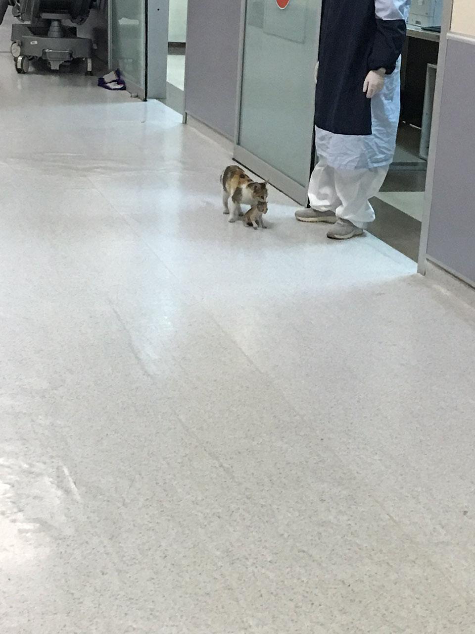Gato madre llevando su ternero