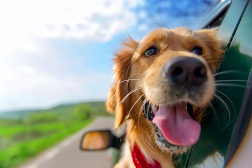 perro de transporte de automóviles