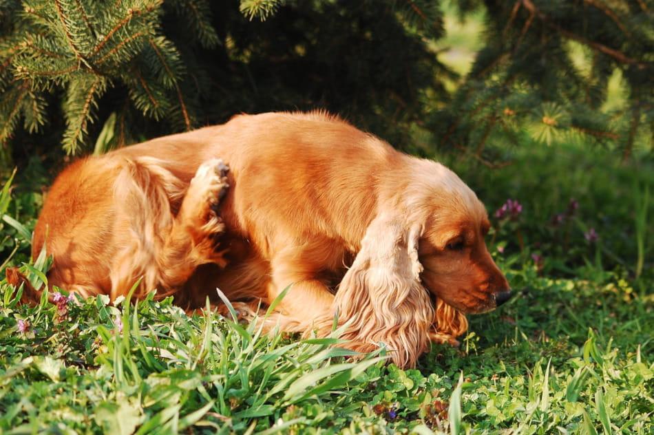 pulgas para perros