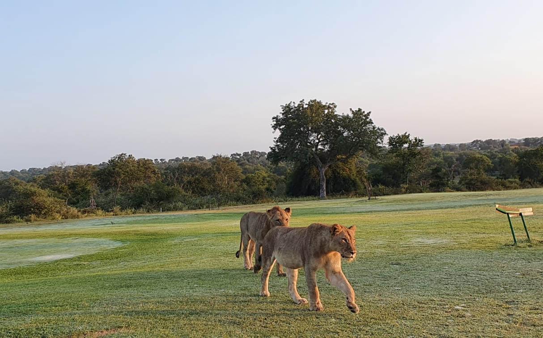 Leones en el campo de golf