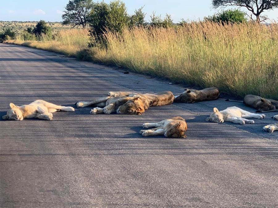 Los leones duermen en el camino
