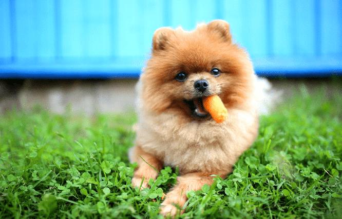 puedes comer zanahoria mi perro