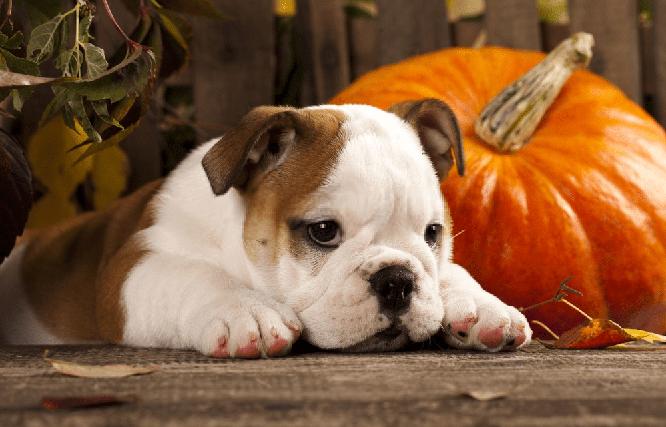 calabaza para perros con diarrea