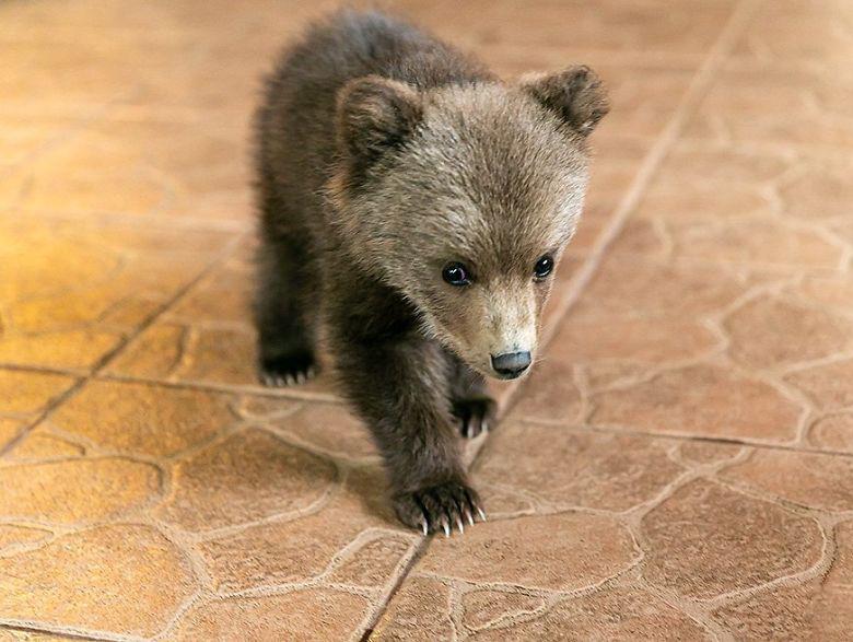 Cachorro de oso rescatado